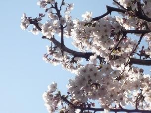 実家近くの桜.jpg