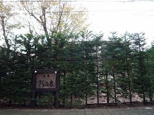 晩秋のさらの木1.jpg