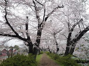 土塁上の桜トンネル.jpg